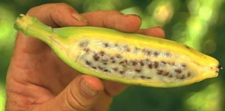 Натуралните банани съдържат семена вътре в тях